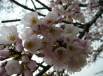 Cherry Blossoms Closeup