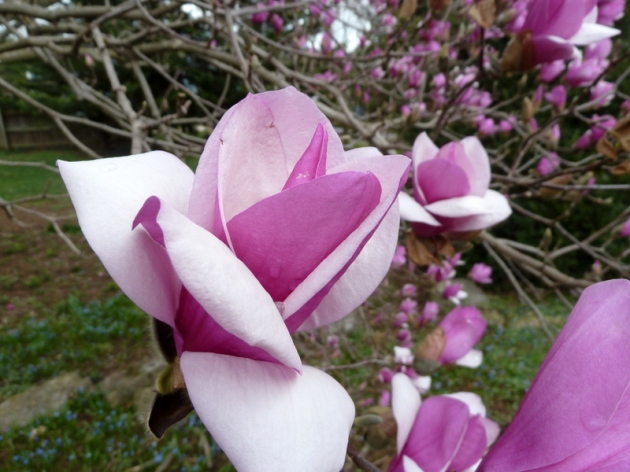 Tulip Magnolia survivors after the mixed rain and snow day
