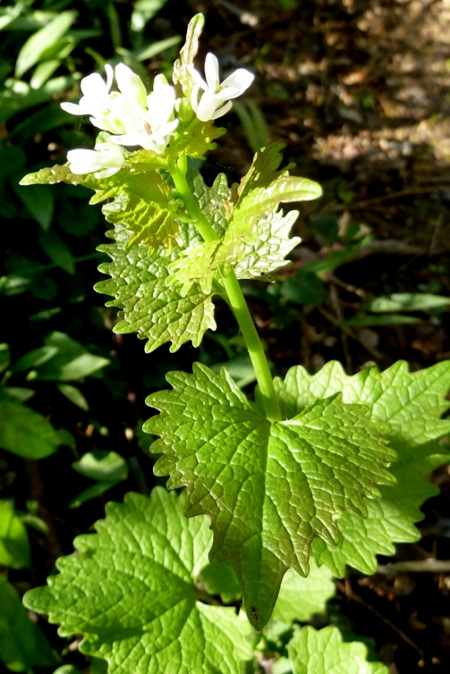 Invasive Garlic Mustard (edible)